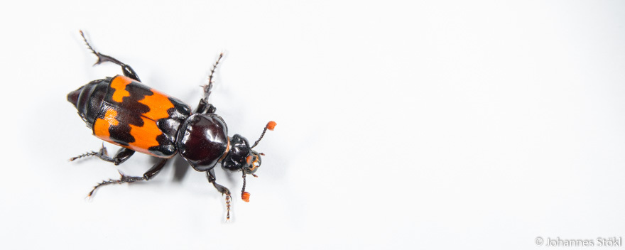 Nicrophorus marginatus